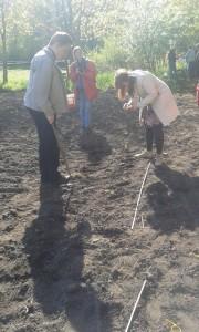 solrosplantering